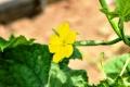 ⑬キュウリの花
