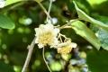 ⑮キウイフルーツの雌木の花