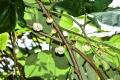 ⑯キウイフルーツの雄木の花