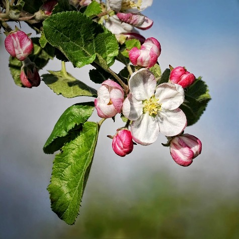 apple-blossom-694721_960_720-2.jpg