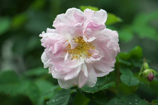 Rosa palustris plena-01