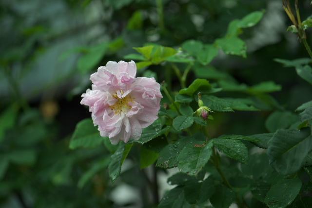Rosa palustris plena-02
