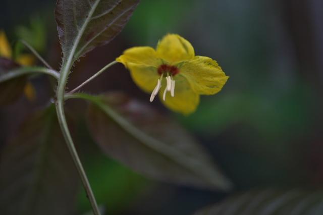 サクラソウ科 Lysimachia ciliata 'Firecracker' -01