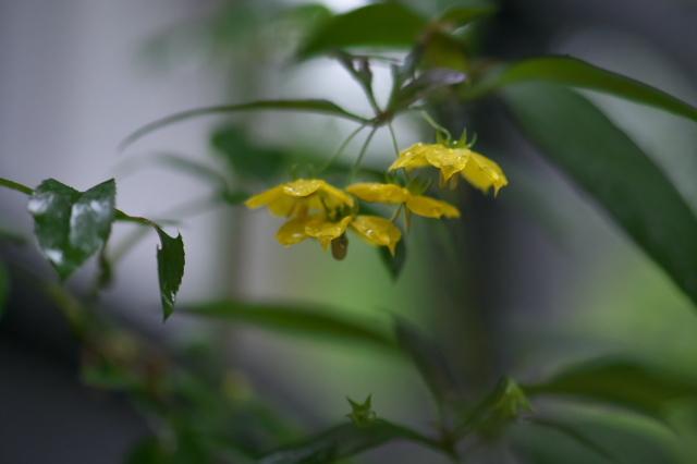 サクラソウ科 Lysimachia ciliata 'Firecracker' -02