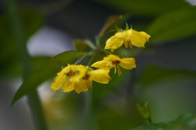 サクラソウ科 Lysimachia ciliata 'Firecracker' -03