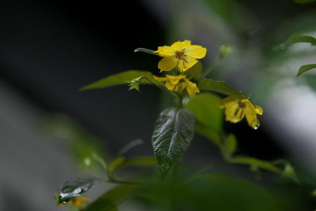 サクラソウ科 Lysimachia ciliata 'Firecracker' -04