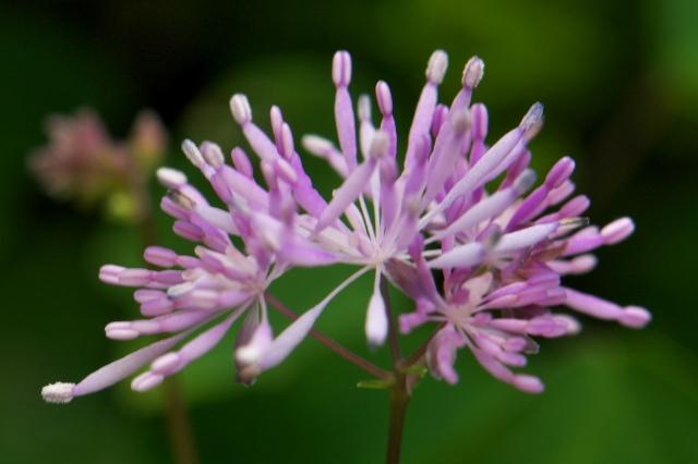 こぼれ種によるムラサキカラマツの開花-02