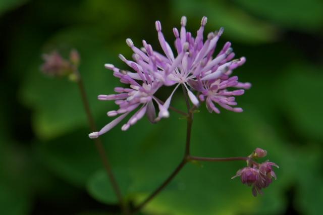 こぼれ種によるムラサキカラマツの開花-01