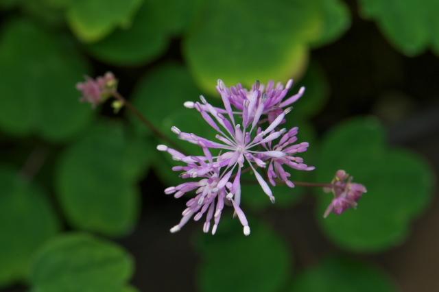 こぼれ種によるムラサキカラマツの開花-03