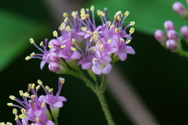 コムラサキシキブ( 学名:Callicarpa dichotoma)-03