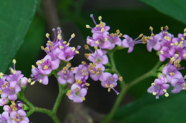 コムラサキシキブ( 学名:Callicarpa dichotoma)-04