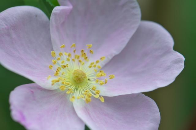 Rosa.melinaの開花(最終花)-03