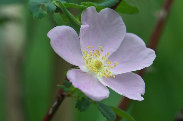 Rosa.melinaの開花(最終花)-01