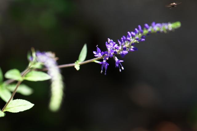 オオバコ科のルリトラノオ(瑠璃虎の尾、学名:Pseudolysimachion subsessile)-02