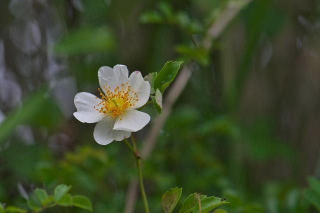 大きな花を付ける野バラ・・・照り葉ノイバラ。-04
