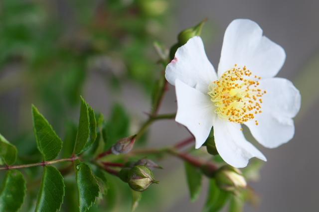 大きな花を付ける野バラ・・・照り葉ノイバラ。-02
