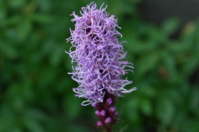 リアトリス(Liatris spicata) ユリアザミ-03