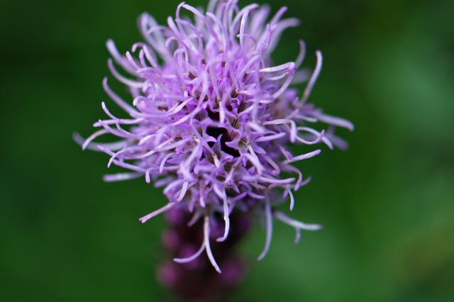 リアトリス(Liatris spicata) ユリアザミ-04