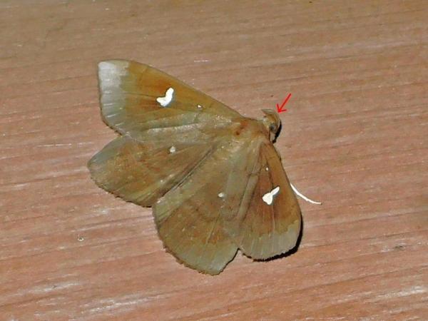 オオシラホシアツバ