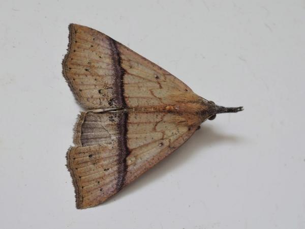 ナミテンアツバ