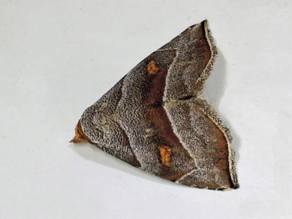 キボシアツバ