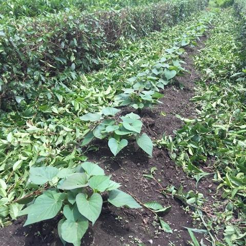 さつま芋畑と茶の刈り込み