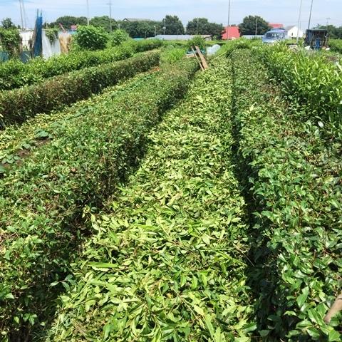 茶ノ木の刈り込み