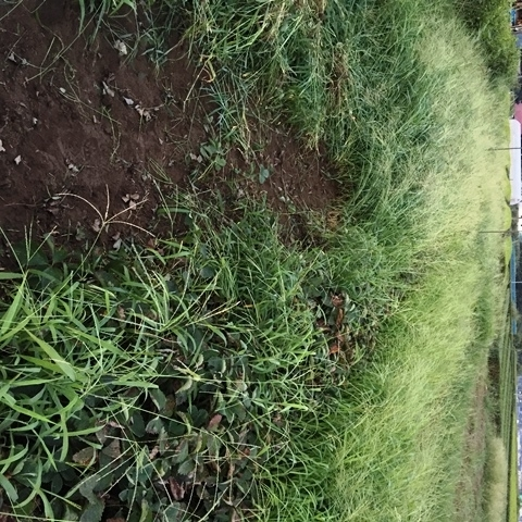 イチゴ畑の草刈り