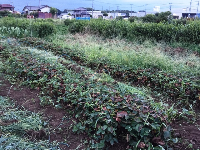 イチゴ畑の草取り