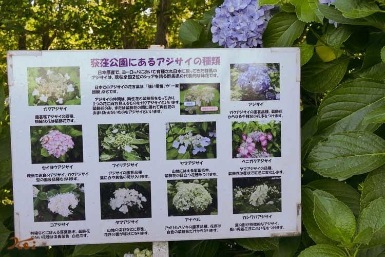 20180613紫陽花_荻窪公園02