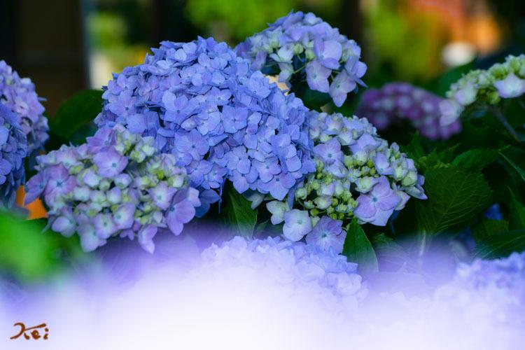 20180613紫陽花_松源寺13