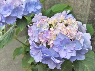 KONOHA紫陽花 (3)