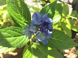 KONOHA紫陽花 (4)