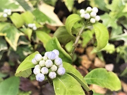 KONOHA紫陽花 (6)
