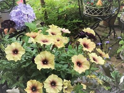 KONOHA紫陽花 (7)