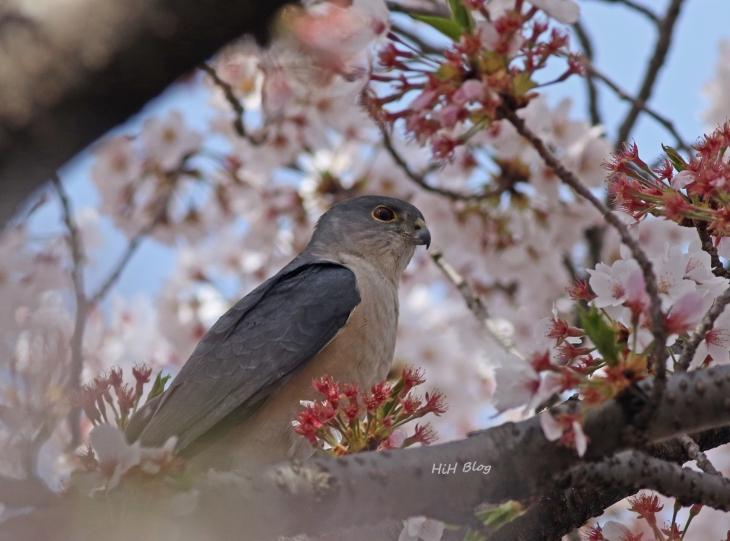 桜ツミ 1