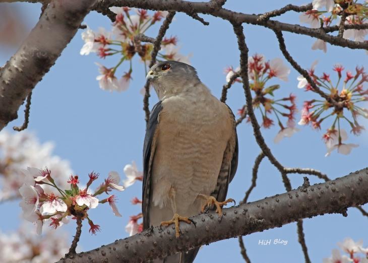 桜ツミ 2