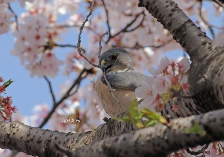 桜ツミ 3