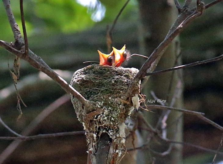 0626 サンコウチョウの雛