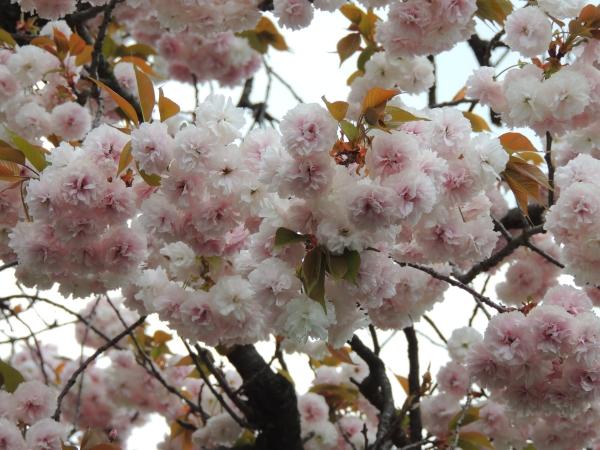 八重桜005