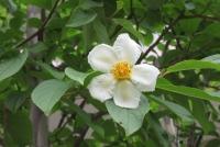 白花弁、黄芯