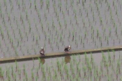 6月の田んぼの2羽