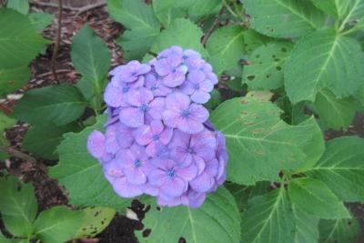 6月23日、厚木中央公園の一輪のアジサイ