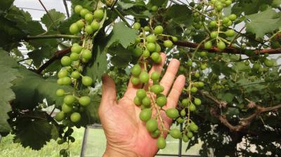 ブドウ粒ふくらむ