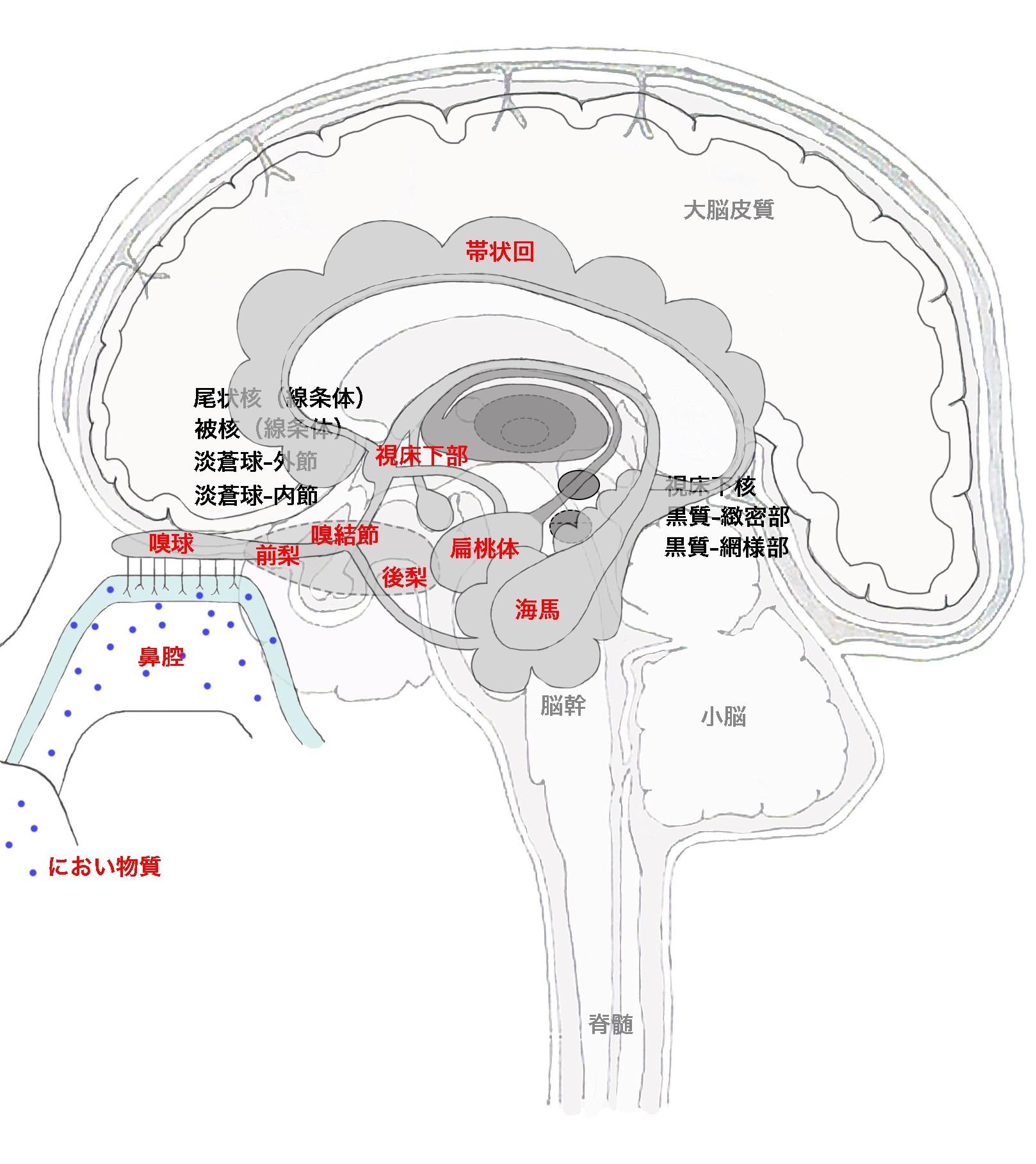 嗅球と大脳辺縁系と大脳基底核と梨状皮質