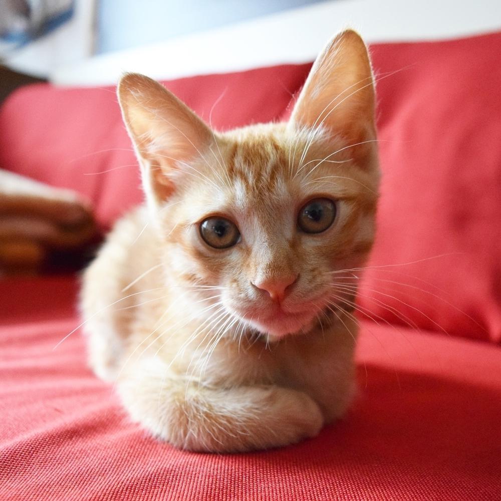 チャトラ、生後3か月、猫、茶虎