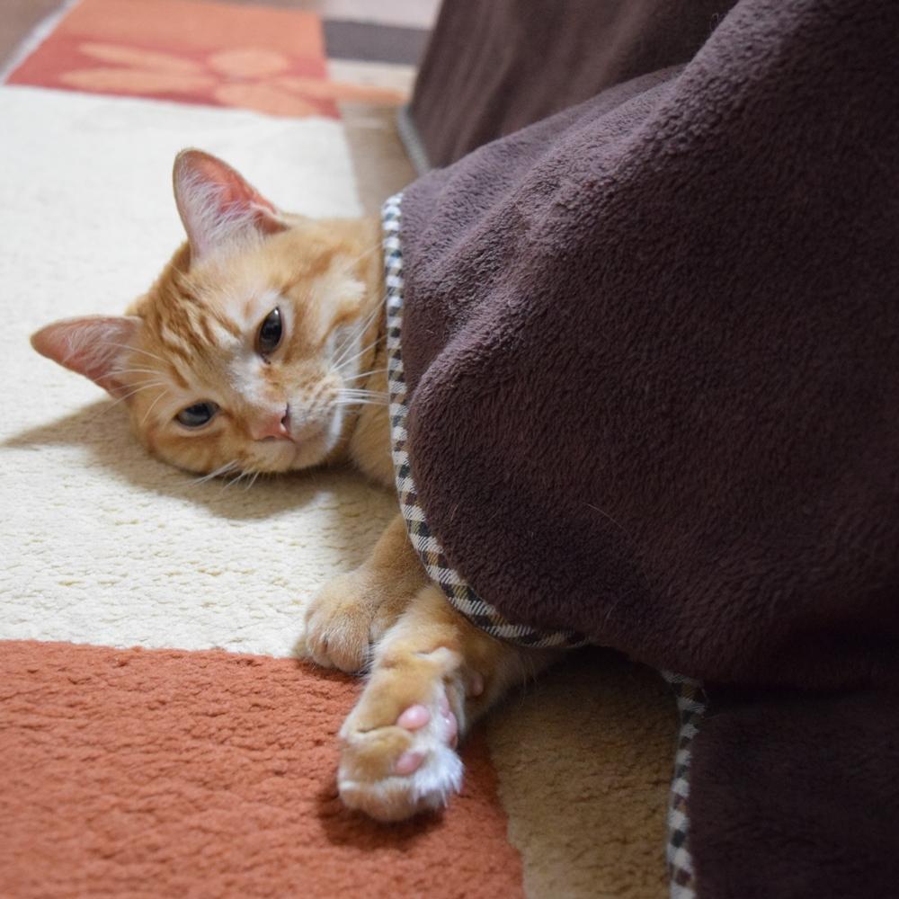 こたつと猫、冬の猫生活、チャトラ