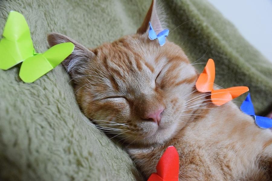 チャトラ、猫、寝相アート