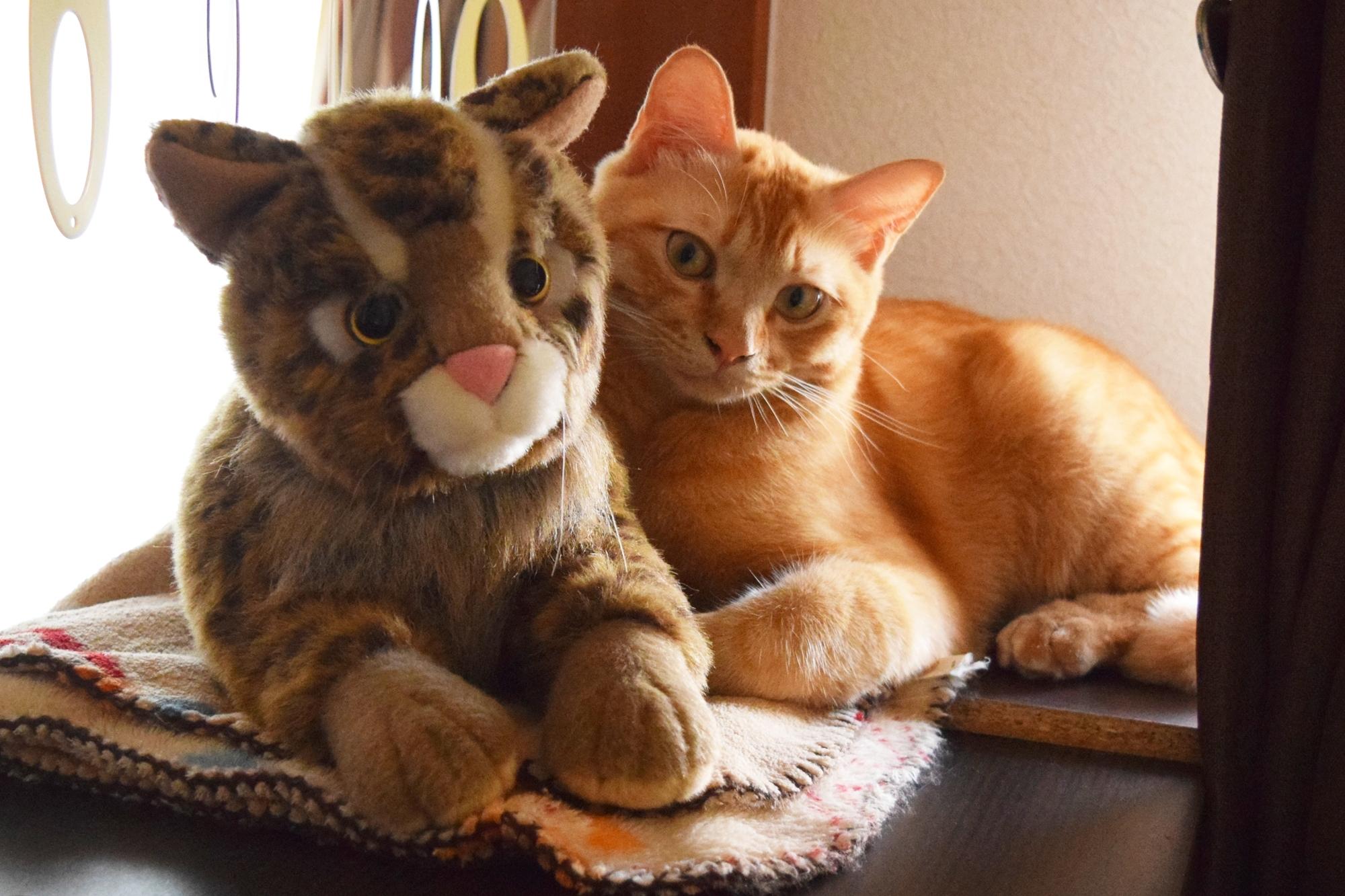 チャトラ、猫、イリオモテヤマネコ