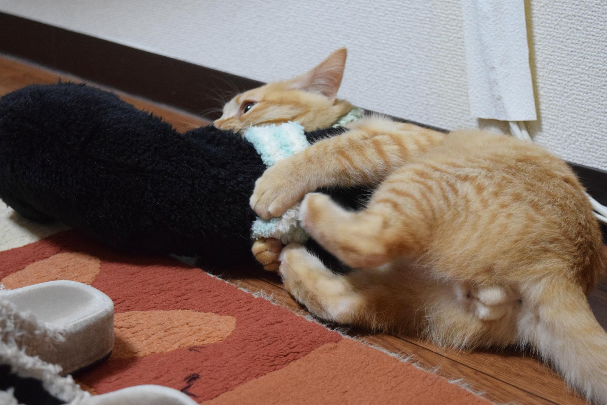 ぬいぐるみと猫、チャトラ、ぬいぐるみと遊ぶ猫